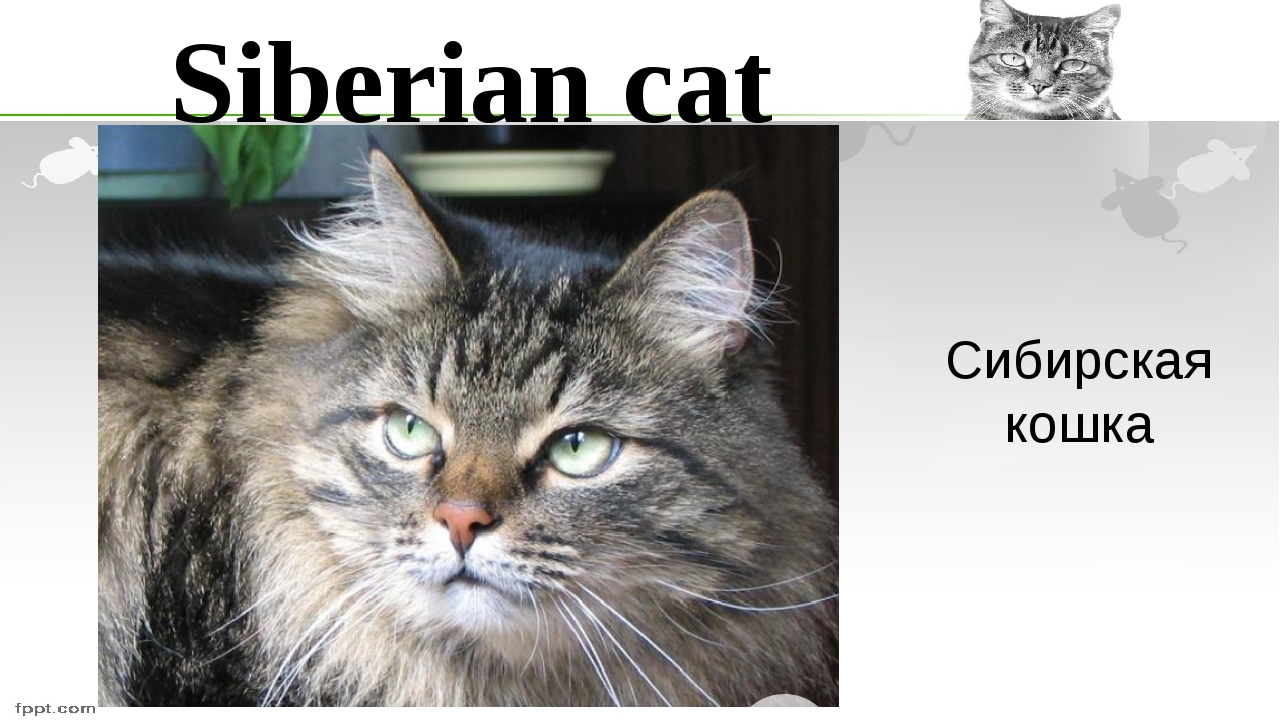 Siberian cat Сибирская кошка