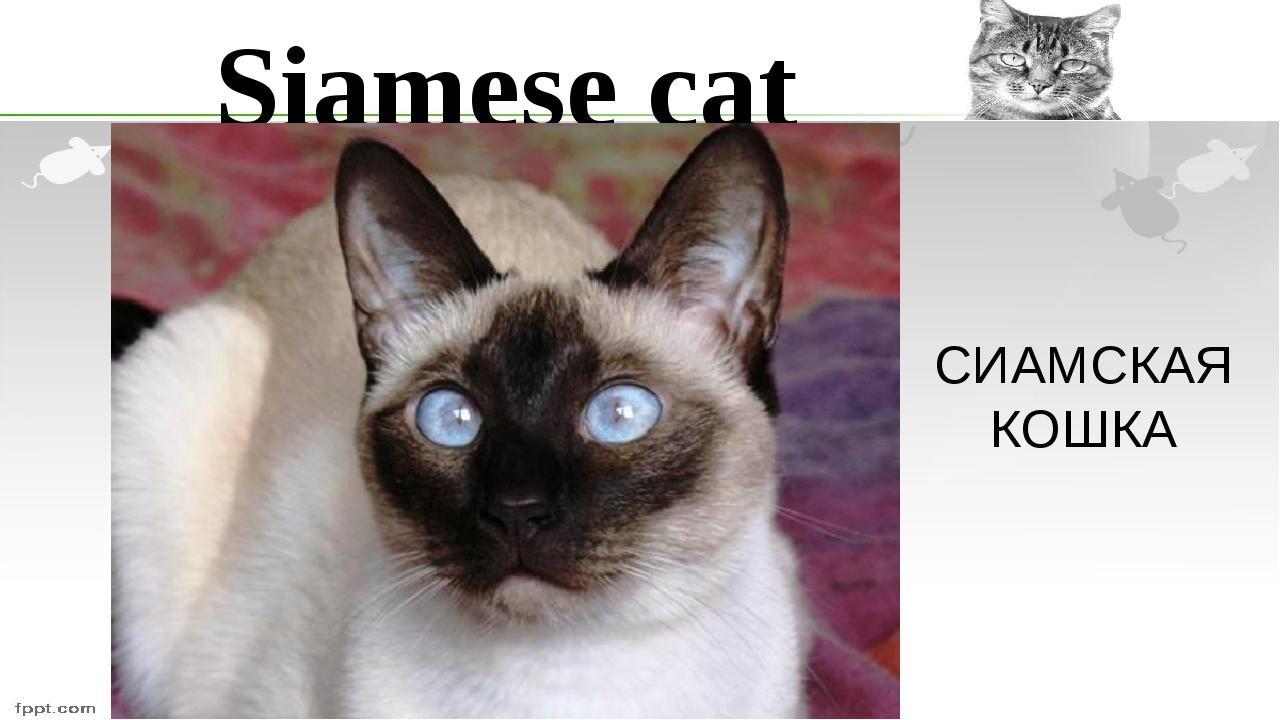 Siamese cat СИАМСКАЯ КОШКА