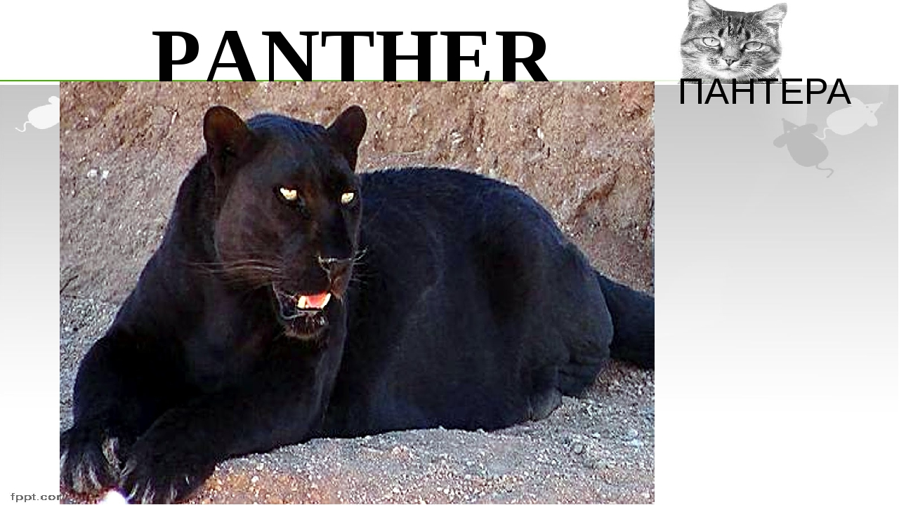 PANTHER ПАНТЕРА
