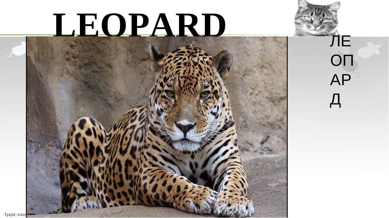LEOPARD ЛЕОПАРД
