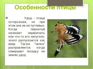 Удод - птица осторожная, но при этом она не из пугливых. Когда пернатый начи