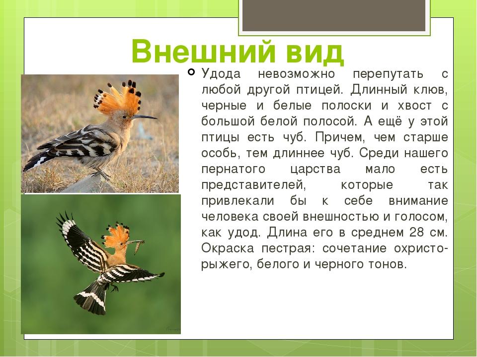 Внешний вид Удода невозможно перепутать с любой другой птицей. Длинный клюв,...