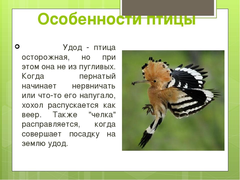 Удод - птица осторожная, но при этом она не из пугливых. Когда пернатый начи...