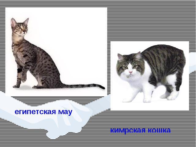 египетская мау кимрская кошка