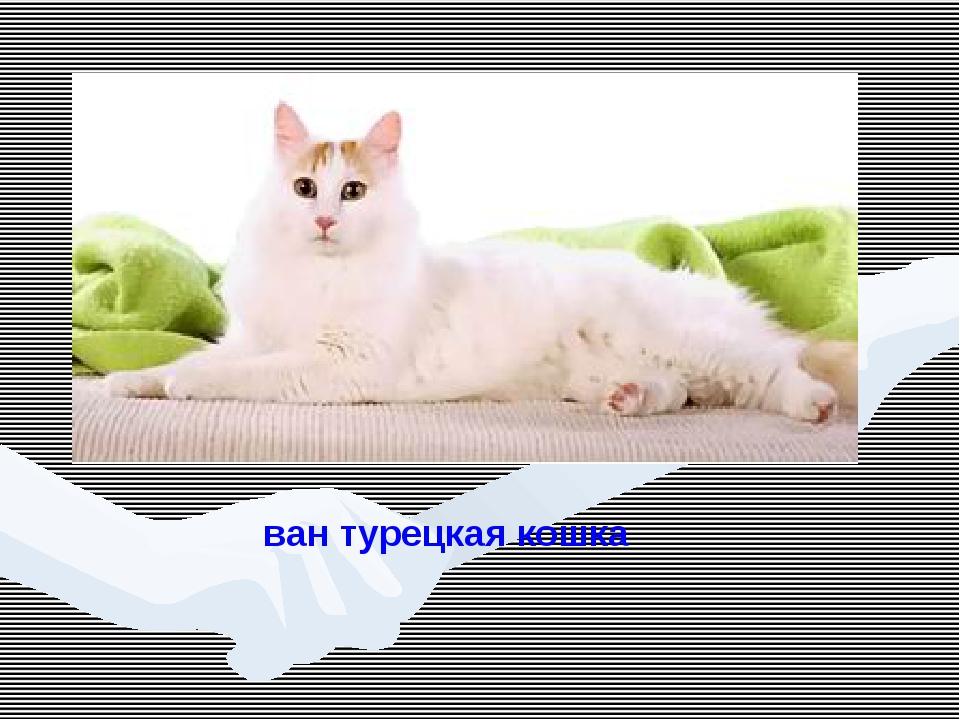 ван турецкая кошка