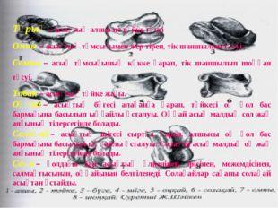 Тұрық– асықтың алшы не тәйке түсуі Омпы– асықтың тұмсығымен жер тіреп, тік