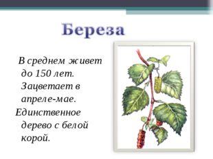 В среднем живет до 150 лет. Зацветает в апреле-мае. Единственное дерево с бе