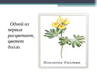 Одной из первых расцветает, цветет долго.
