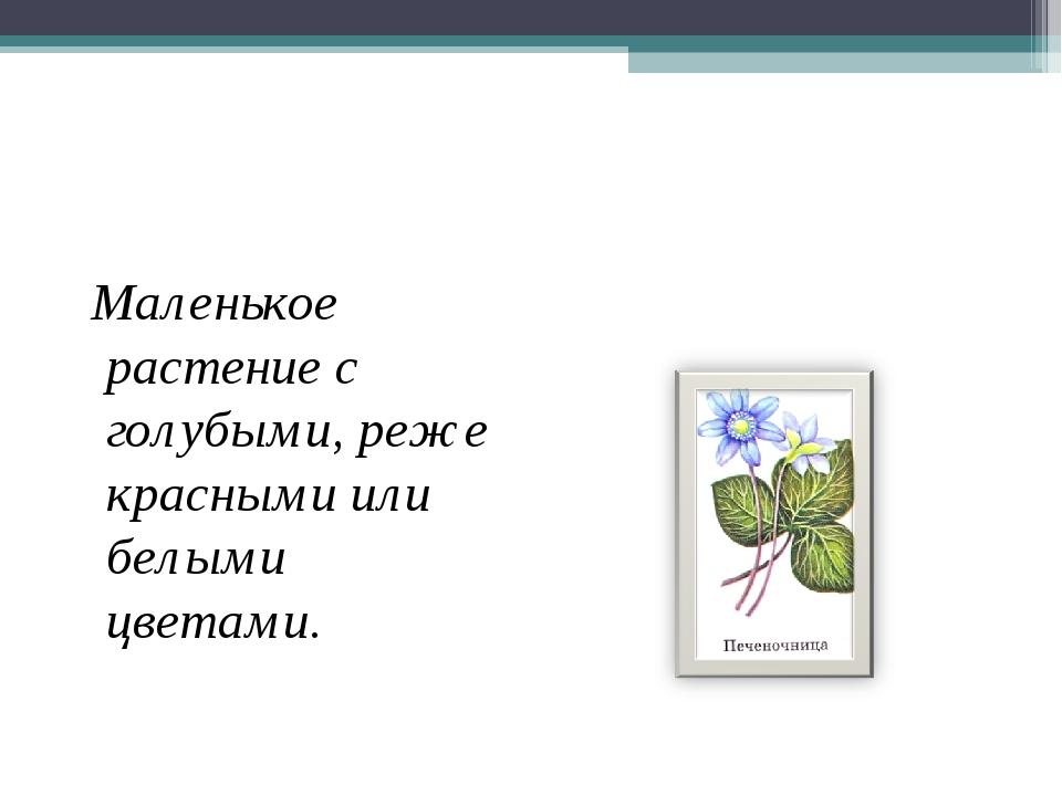 Маленькое растение с голубыми, реже красными или белыми цветами.
