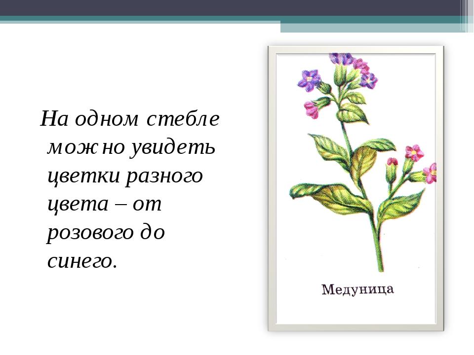 На одном стебле можно увидеть цветки разного цвета – от розового до синего.