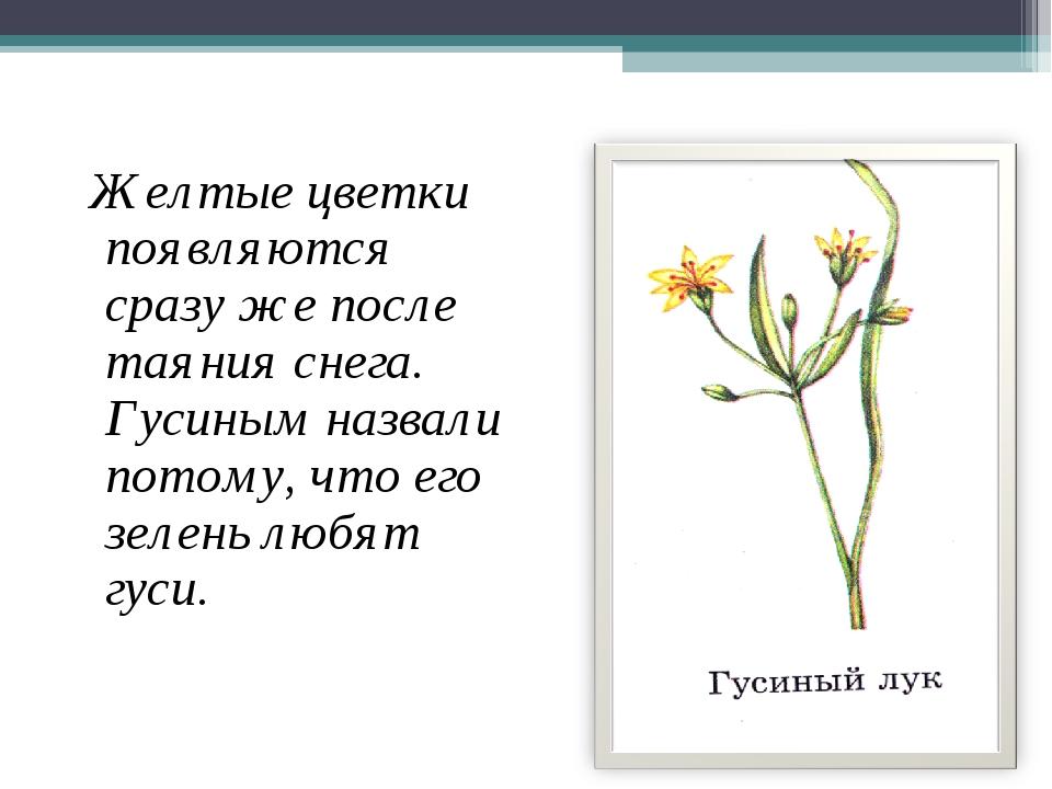 Желтые цветки появляются сразу же после таяния снега. Гусиным назвали потому...