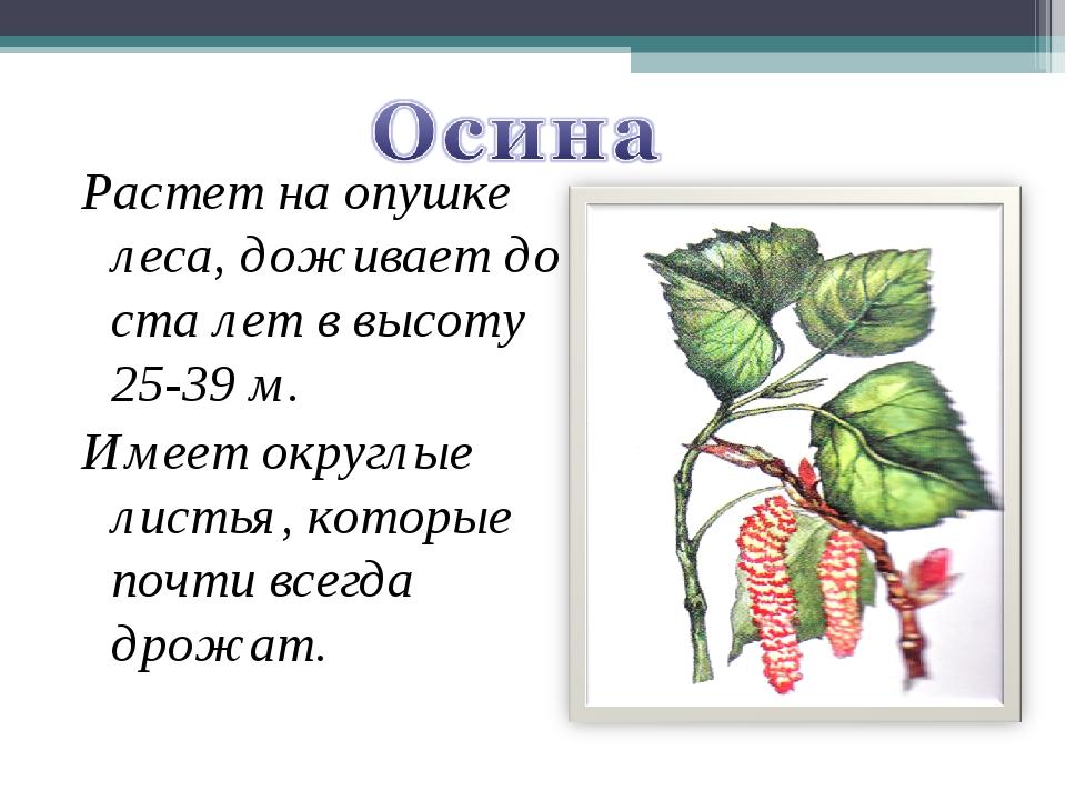 Растет на опушке леса, доживает до ста лет в высоту 25-39 м. Имеет округлые л...