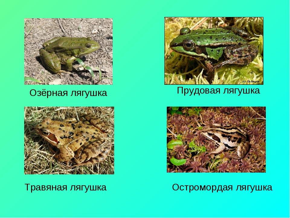 Озёрная лягушка Прудовая лягушка Травяная лягушка Остромордая лягушка