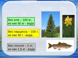 Вес ели – 100 кг, из них 80 кг - вода Вес нарцисса – 100 г, из них 85 г - в