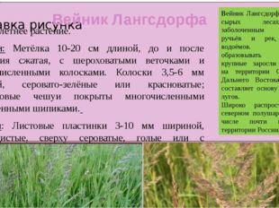 Вейник Лангсдорфа Многолетнее растение. Цветки: Метёлка 10-20 см длиной, до и