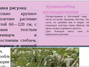 Кровохлёбка мелкоцветковая Довольно крупное многолетнее растение высотой 60—1