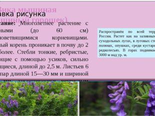 Вика мышиная (мышиный горошек) Описание: Многолетнее растение с длинными (до