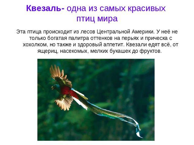 Квезаль- одна из самых красивых птиц мира Эта птица происходит из лесов Центр...