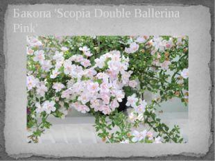 Бакопа 'Scopia Double Ballerina Pink'