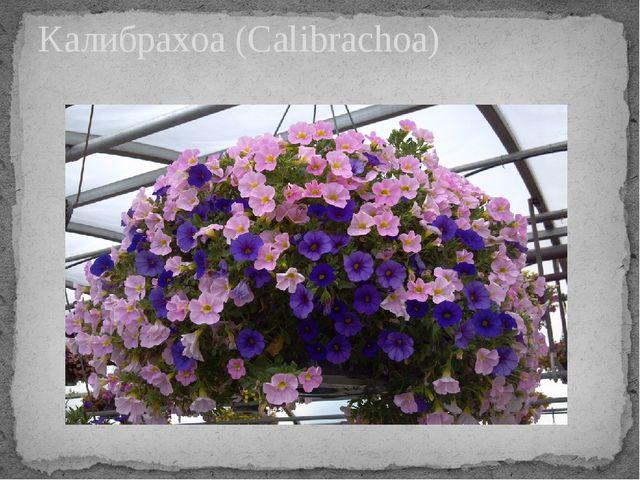 Калибрахоа (Calibrachoa)
