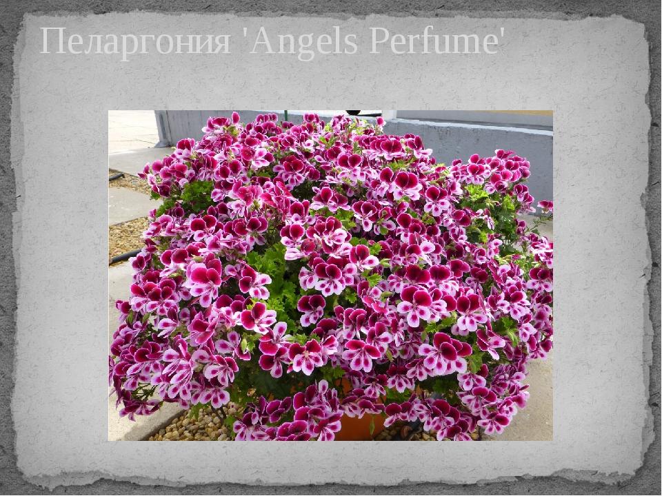 Пеларгония 'Angels Perfume'