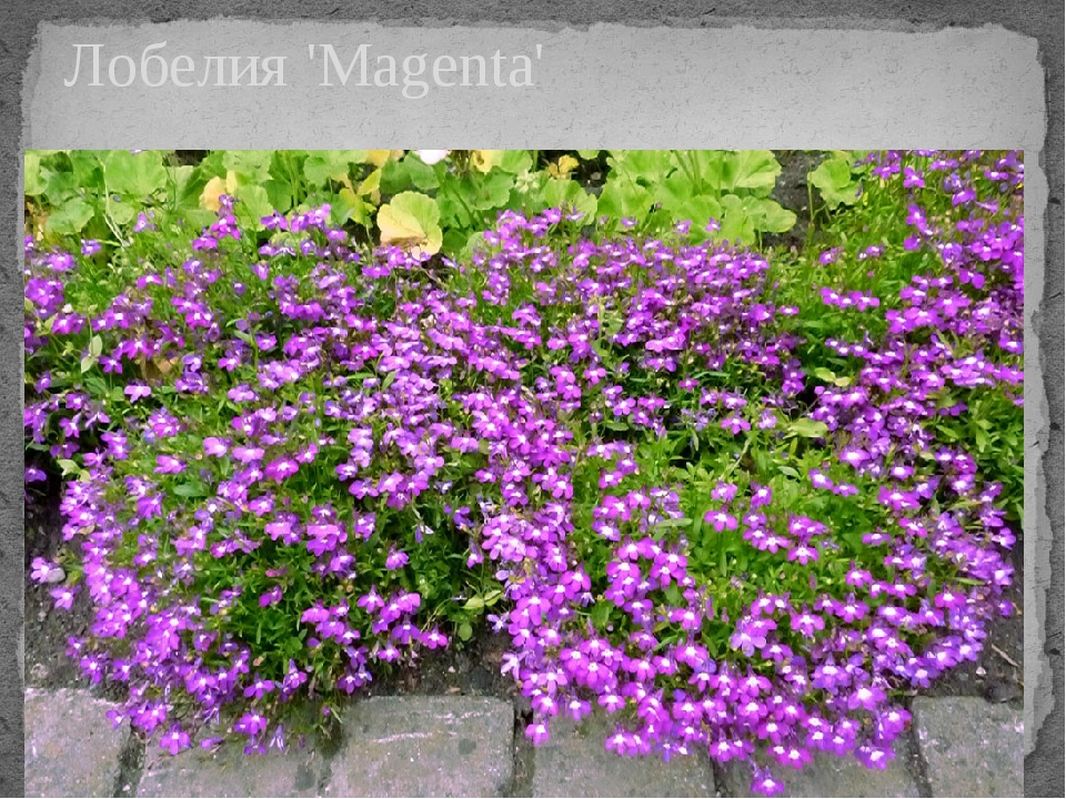 Лобелия 'Magenta'