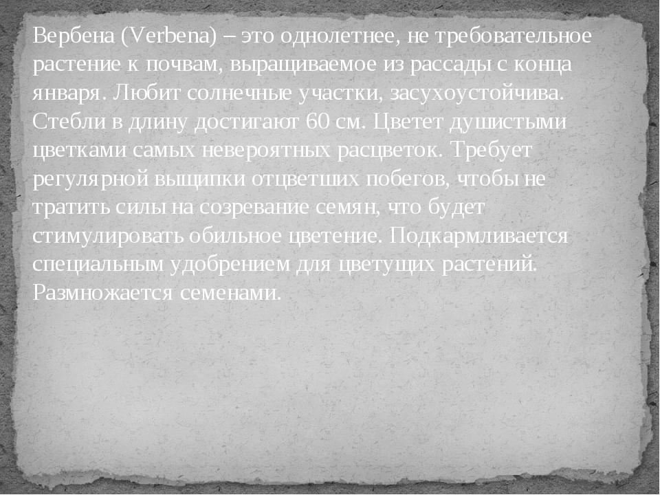 Вербена (Verbena) – это однолетнее, не требовательное растение к почвам, выра...
