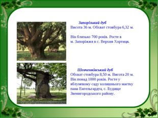 Запорізький дуб Висота 36 м. Обхват стовбура 6,32 м. Вік близько 700 років.