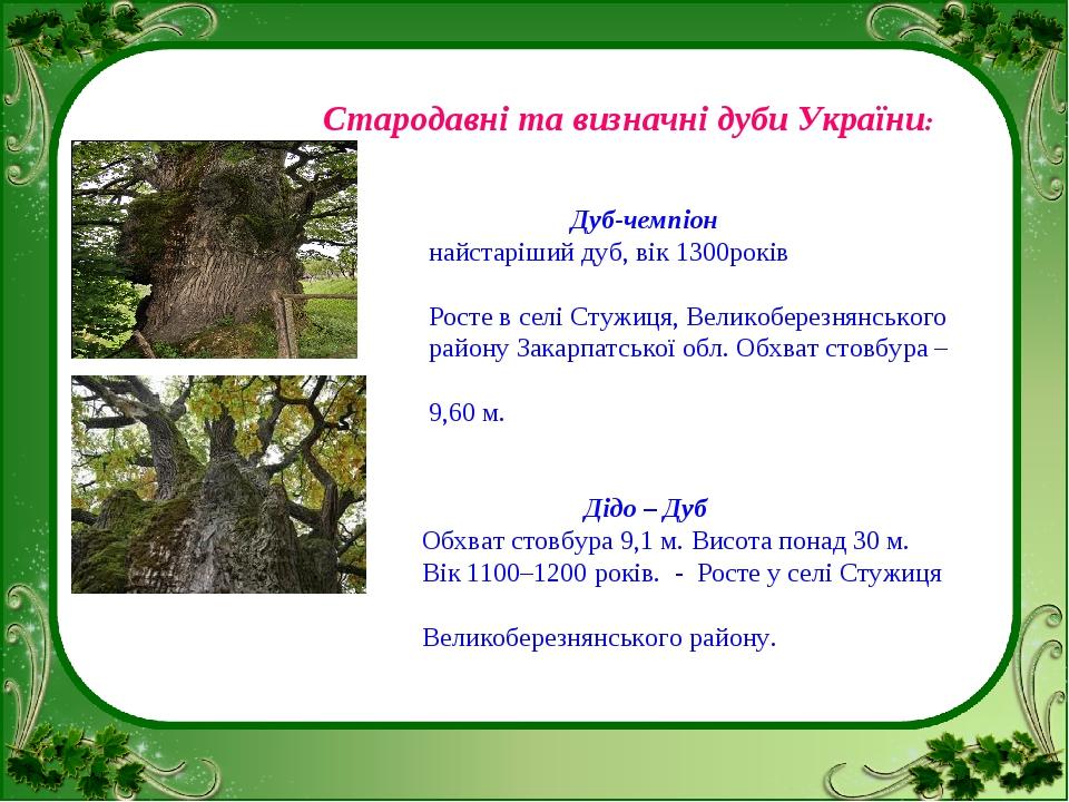 Стародавні та визначні дуби України: Дуб-чемпіон найстаріший дуб, вік 1300ро...