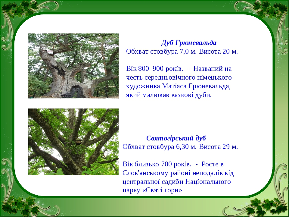 Дуб Грюневальда Обхват стовбура 7,0 м. Висота 20 м. Вік 800–900 років.  Наз...