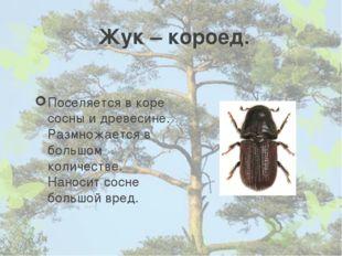 Жук – короед. Поселяется в коре сосны и древесине. Размножается в большом кол