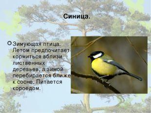 Синица. Зимующая птица. Летом предпочитает кормиться вблизи лиственных деревь