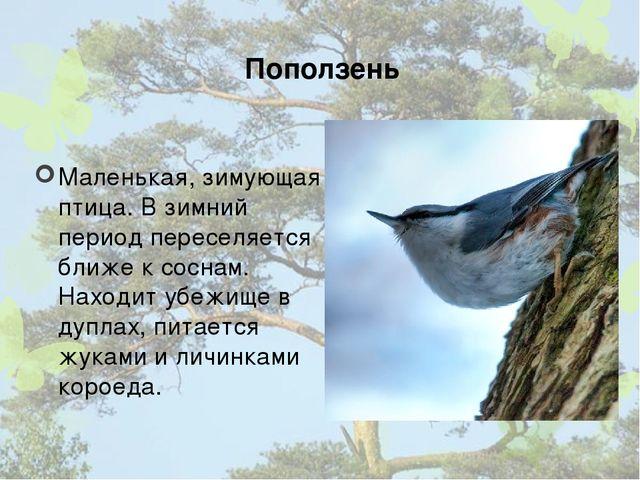 Поползень Маленькая, зимующая птица. В зимний период переселяется ближе к сос...