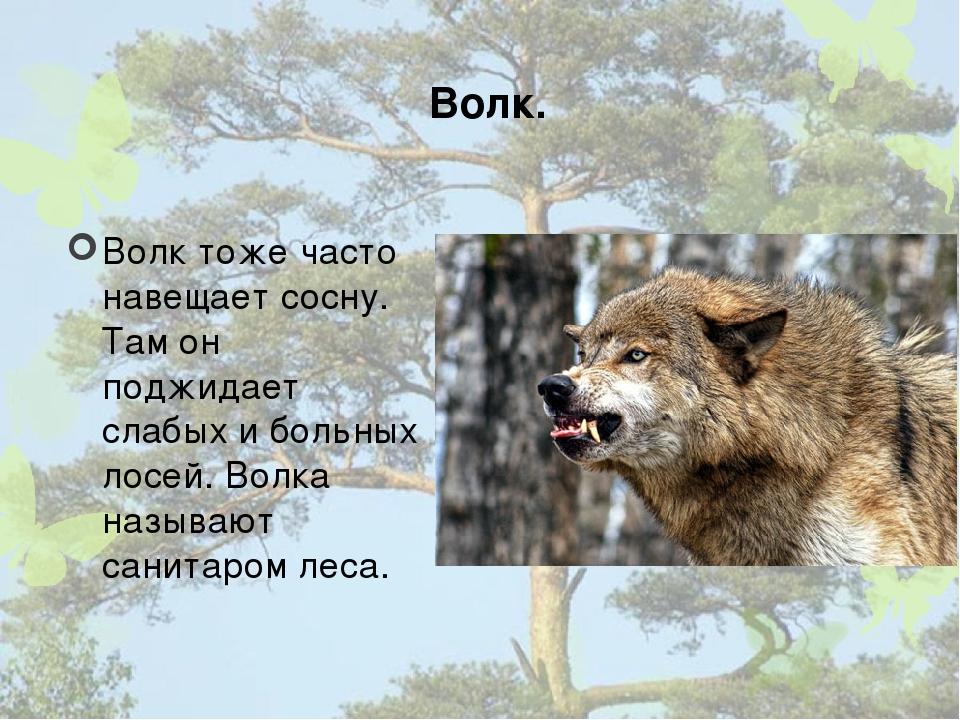 Волк. Волк тоже часто навещает сосну. Там он поджидает слабых и больных лосей...