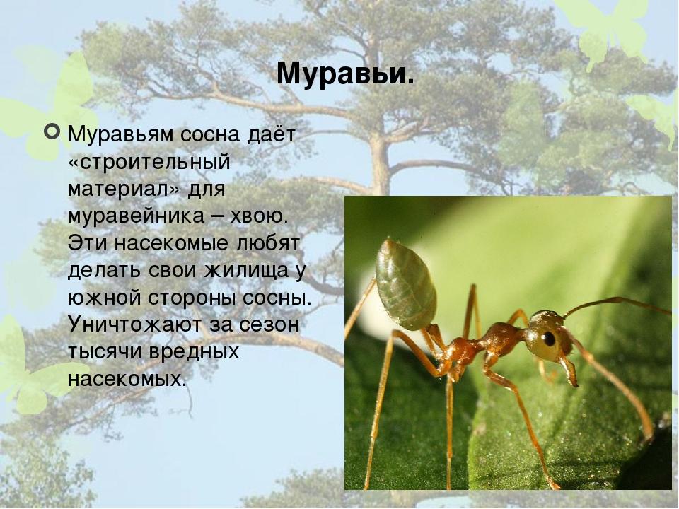 Муравьи. Муравьям сосна даёт «строительный материал» для муравейника – хвою....