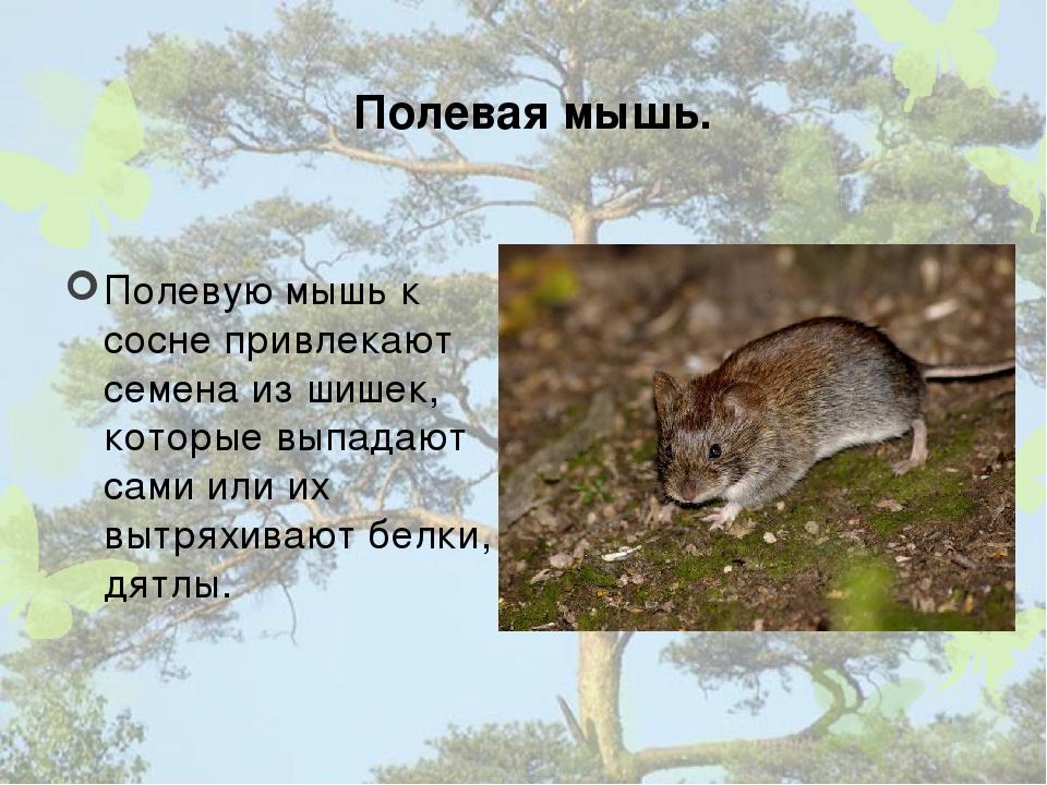 Полевая мышь. Полевую мышь к сосне привлекают семена из шишек, которые выпада...
