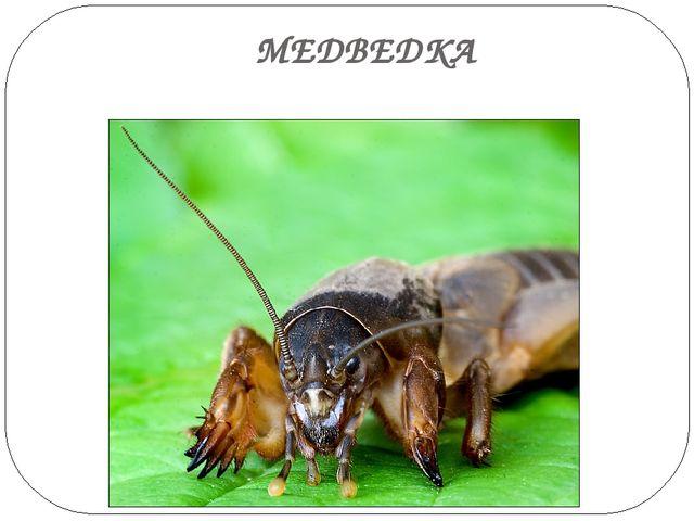 МЕДВЕДКА