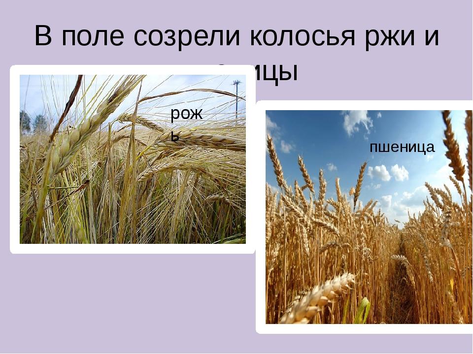 В поле созрели колосья ржи и пшеницы пшеница рожь