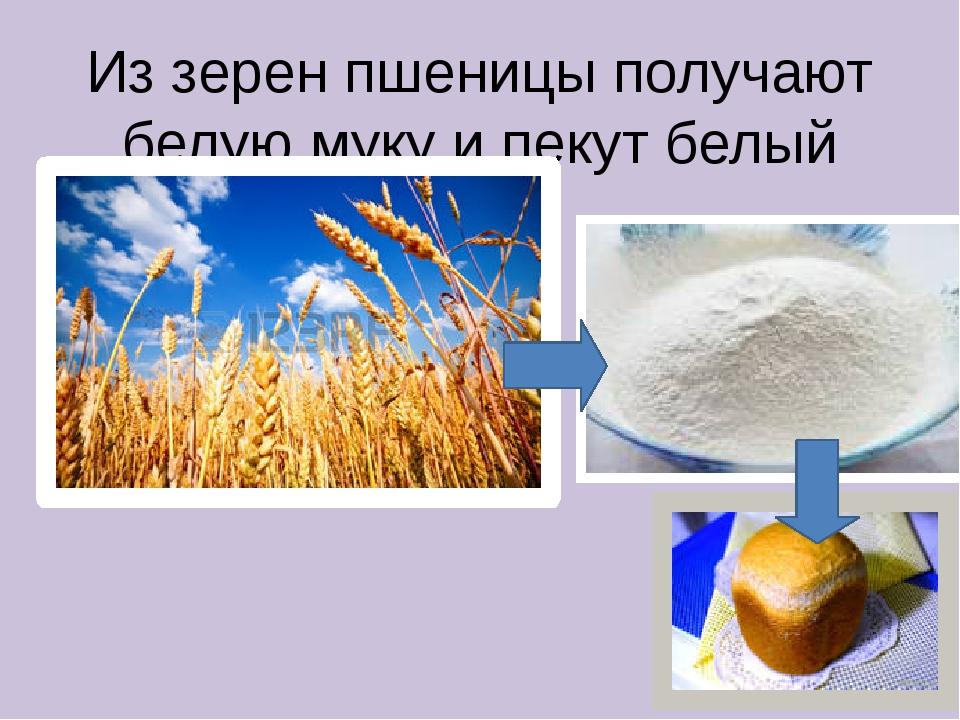 Из зерен пшеницы получают белую муку и пекут белый хлеб.