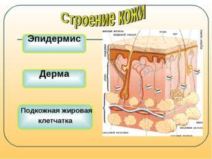 Эпидермис Дерма Подкожная жировая клетчатка
