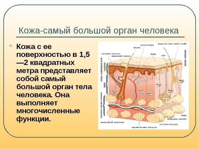 Кожа-самый большой орган человека Кожа с ее поверхностью в 1,5—2 квадратных м...