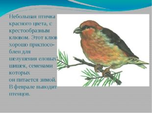 Небольшая птичка красного цвета, с крестообразным клювом. Этот клюв хорошо пр
