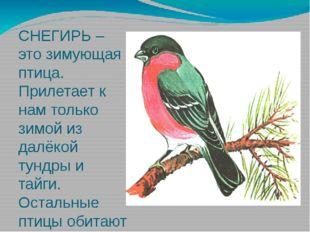 СНЕГИРЬ – это зимующая птица. Прилетает к нам только зимой из далёкой тундры
