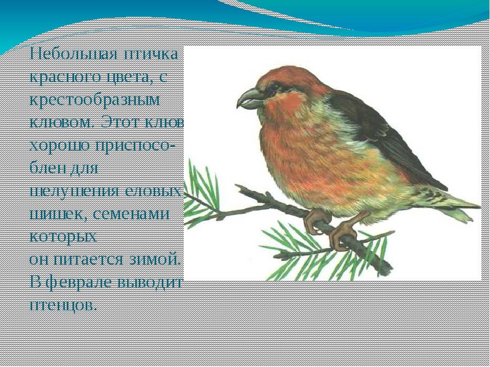 Небольшая птичка красного цвета, с крестообразным клювом. Этот клюв хорошо пр...