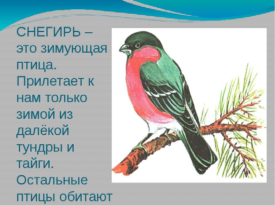 СНЕГИРЬ – это зимующая птица. Прилетает к нам только зимой из далёкой тундры...