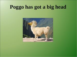 Poggo has got a big head