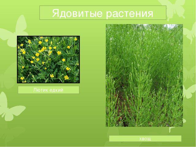 Ядовитые растения Лютик едкий хвощ