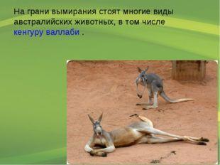 На грани вымирания стоят многие виды австралийских животных, в том числе кенг