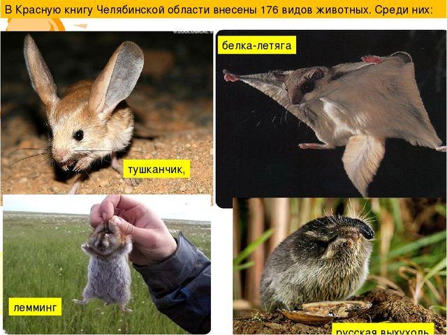 В Красную книгу Челябинской области внесены 176 видов животных. Среди них: ту...