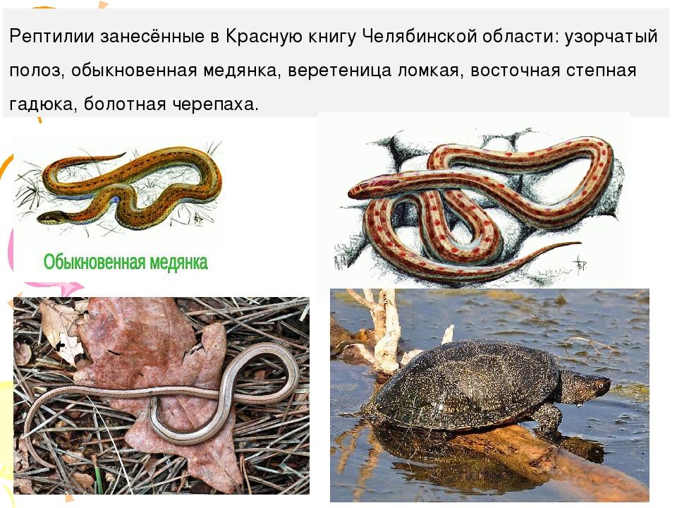 Рептилии занесённые в Красную книгу Челябинской области: узорчатый полоз, обы...